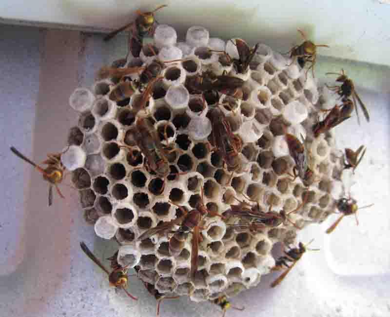 wasps-pest-control-sydney