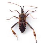 assassin_bug