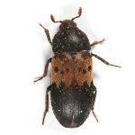 larder_beetle