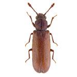 powderpost_beetle
