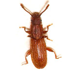 sawtoothed_beetle