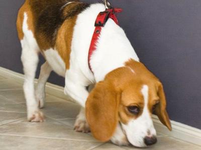 termite-inspection-dog-beagle